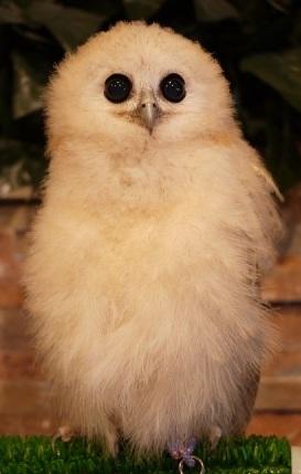 タテジマウオクイフクロウ(幼鳥)