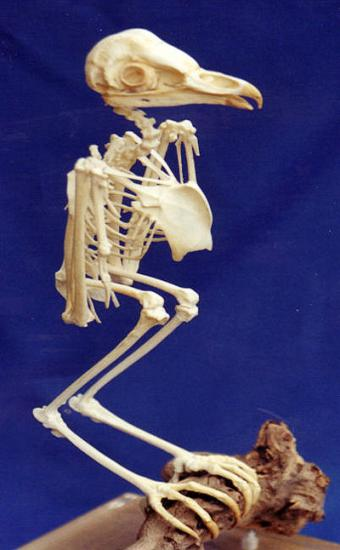 メンフクロウ(全身骨格標本)